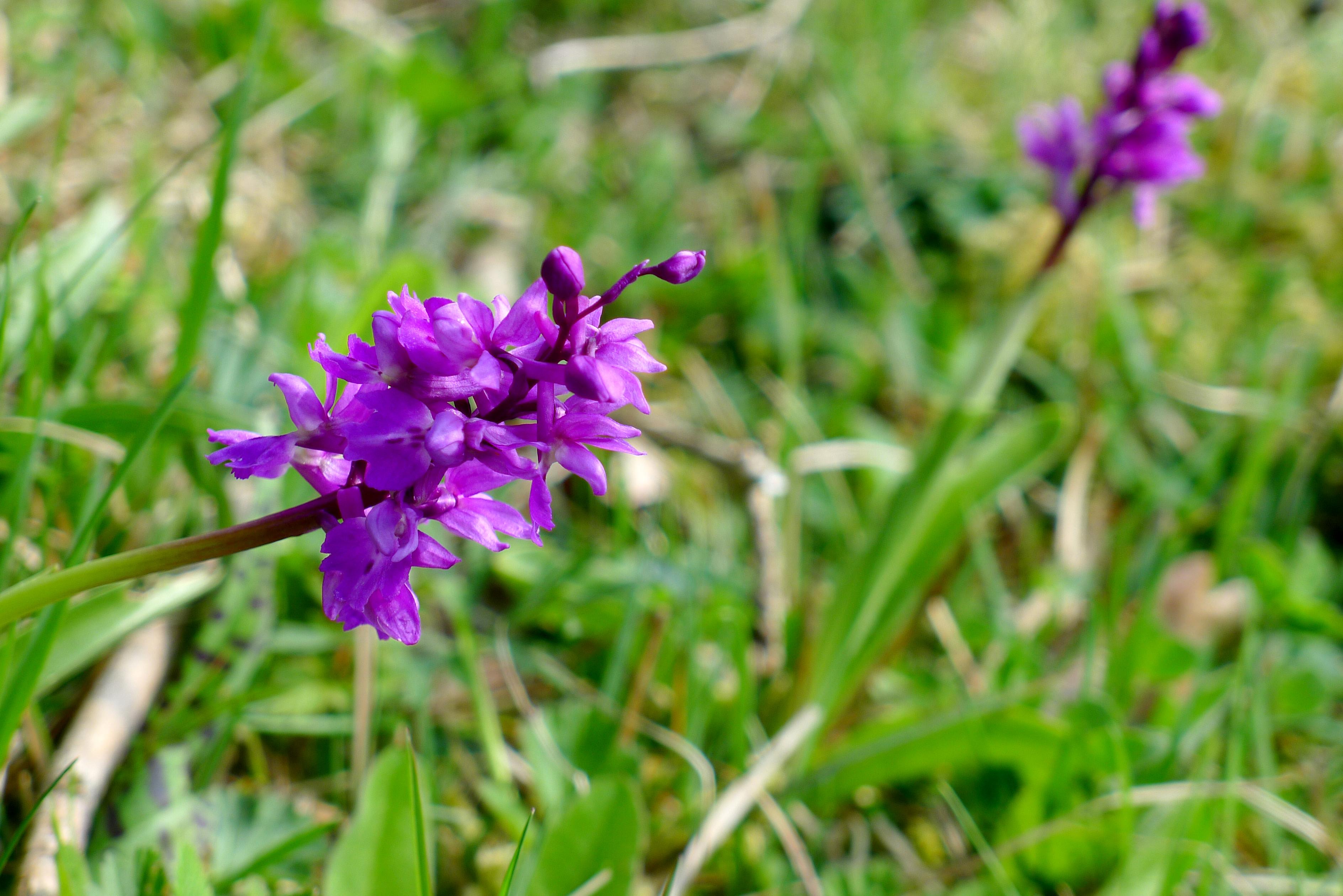 Orkidéer på unik alvarmark